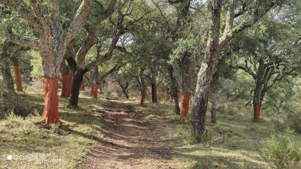 bosque de alcornoque